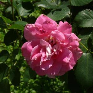 藤沢町「館ケ森アーク牧場」のバラ(薔薇)ケアフリーワンダー 2020年6月17日(水)
