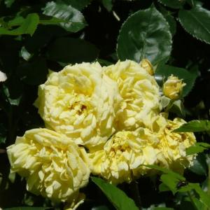 藤沢町「館ケ森アーク牧場」のバラ(薔薇)モンドルフレバン 2020年6月17日(水)