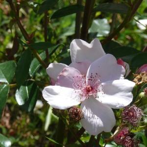 藤沢町「館ケ森アーク牧場」のバラ(薔薇)ピンクサクリーナ 2020年6月17日(水)