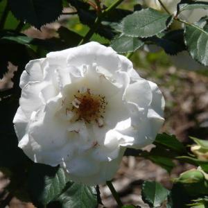 藤沢町「館ケ森アーク牧場」のバラ(薔薇)ホワイトクリスマス 2020年6月17日(水)