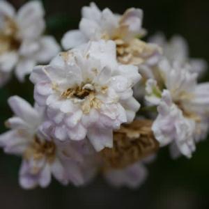 一関市「東山市民センター」のバラ(薔薇)2020年6月25日(木)