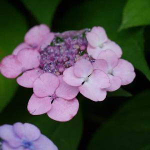 一関市東山町のガクアジサイ(額紫陽花)2020年6月25日(木)