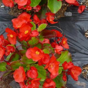 一関市東山町「唐梅館公園」の四季咲きベゴニア・センパフローレンス(その2)2020年7月9日(木)
