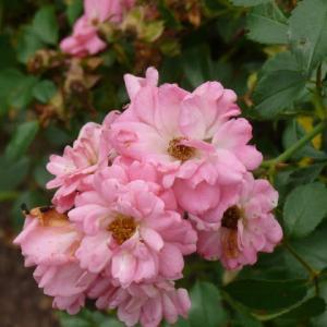 一関市東山町「唐梅館公園」のバラ(薔薇)2020年7月9日(木)