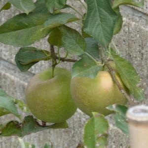 奥州市水沢佐倉河のリンゴ(林檎) 2020年9月20日(日)