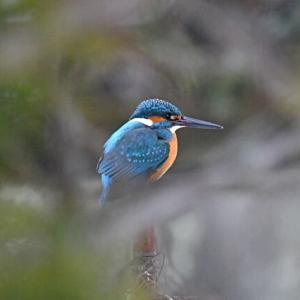 素晴らしい鳥の写真 カワセミ、ヒヨドリほか 2021年1月15日(金)