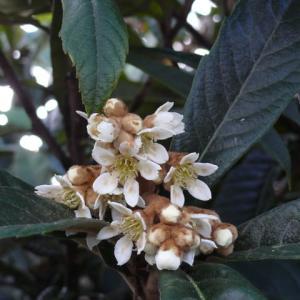一関市銅谷町のビワ(枇杷)の花 2020年11月26日(木)