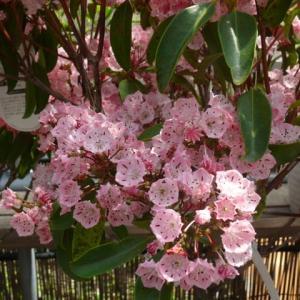 一関市「みちのくあじさい園」のカルミア・サラ 2021年6月9日(水)
