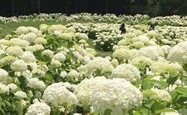 純白のアジサイ・アナベル  2021年6月17日(木)