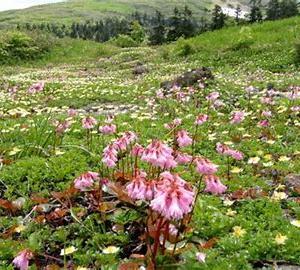 花の百名山・森吉、初夏の高山植物見頃  2021年6月18日(金)