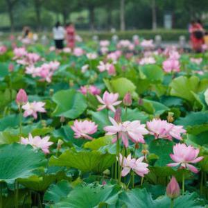 蓮花湖公園に咲き誇るハスの花 江蘇省南京市 2021年6月19日(土)
