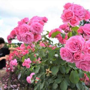 紫波ローズガーデンのバラ(薔薇) 2021年6月21日(月)