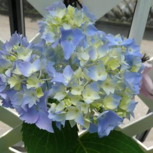 我が家の西洋紫陽花 2021年6月22日(火)