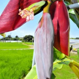 バナナの花 2021年7月30日(金)