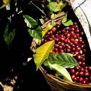 コーヒー生豆のお問合せ有難う御座います