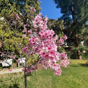 ハリウッドの桜
