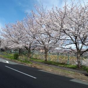 桜・花桃の花等