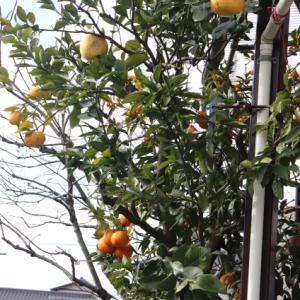 Citrus tree of magic
