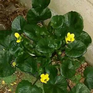 リュウキンカ、今年は、もう咲いていました