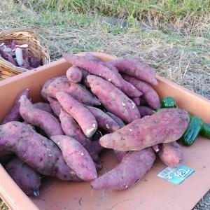 サツマイモの収穫と階段の修理