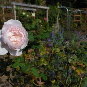 秋のバラと移植