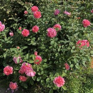 今年のバラの二番花は。。。