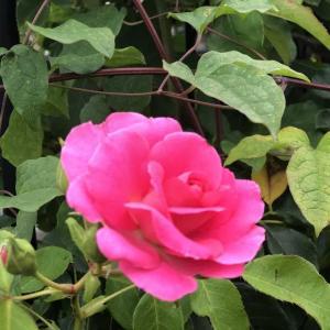 バラの開花  つるローズうらら ルシエルブルー ジュビリーセレブレーション
