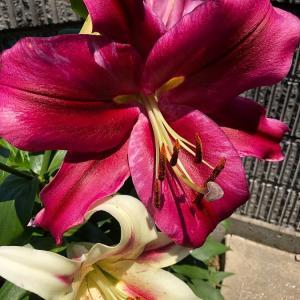 フロンテラ、パラッツオ、ミス・マープル咲きました。