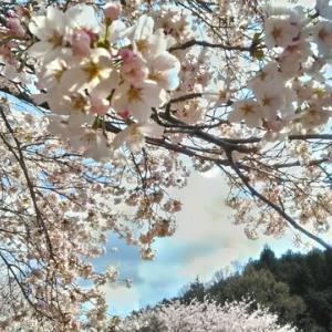 桜満開 友達と歩くときはマスク