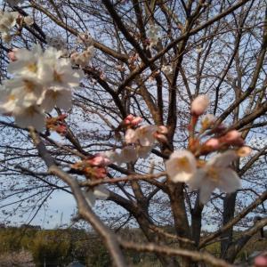 昨日は桜吹雪でした