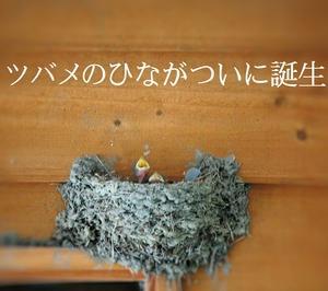 我が家のツバメの巣にひなが誕生したよ♪