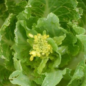 オーガニック野菜 白菜の花