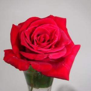 薔薇は3度咲く。