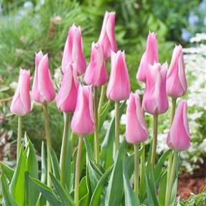 チューリップ花壇の植え込み