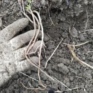 久々のススキの根掘り・・・南国畑