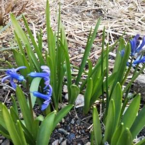 ローマンヒヤシンス♪・・・庭の花たち