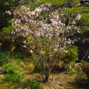 blogで桜散歩♪・・・2018年牧野公園