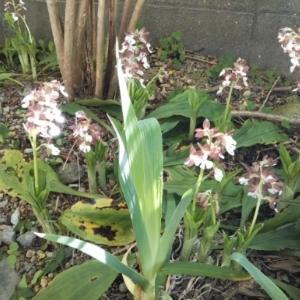 白い花・・・自宅庭