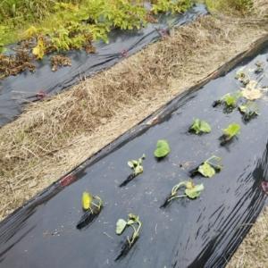 畑の空気は苦かった・・・さつま芋植え