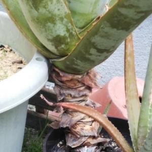 アロエベラの植え替え・・・アロエを食べよう!