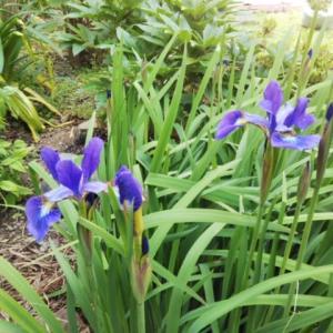 紫の季節♪・・・アヤメ、イキシアが咲いた