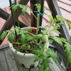 トマト急に大きくなった♪・・・肥料多過ぎた