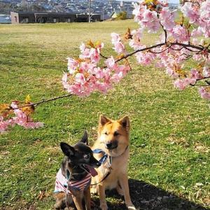 公園で 桜見ながら 朝食を