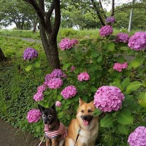 紫陽花の 季節に鶯 なんでやの?!