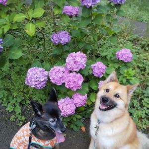 似た写真 紫陽花ばかり しゃーないや