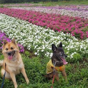 ペチュニアの お花畑を お散歩よ