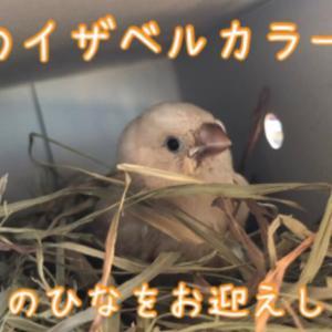 イザベルの錦華鳥をお迎えしました!
