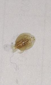 金魚の寄生虫撮れました