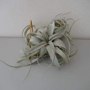 My植物図鑑 「キセログラフィカ」(エアプランツ ティランジア)
