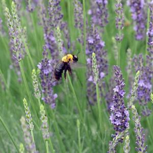 ラベンダーの花とクマンバチ